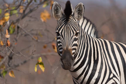 Zebra in the wilderness