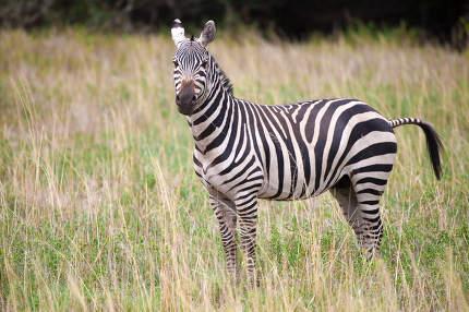 Zebra standing in the grassland in Kenya