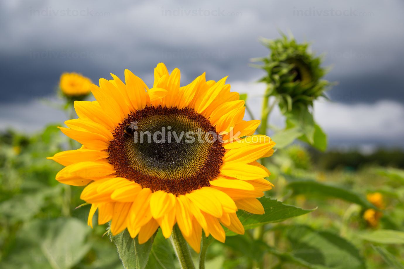 a big sunflower in a park