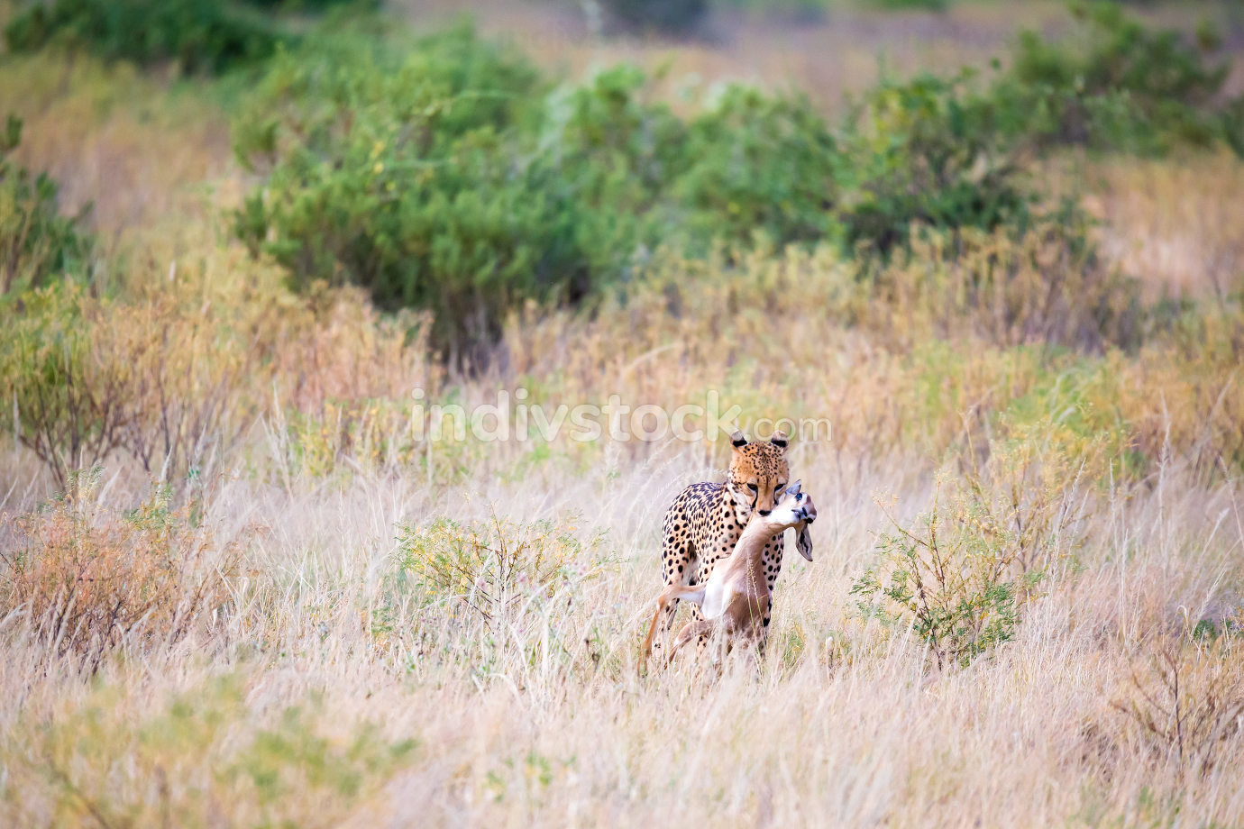 A cheetah carries the prey hunted in its mouth