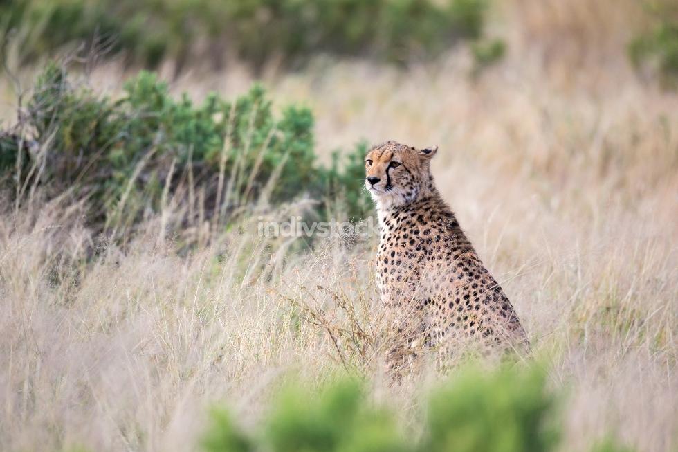 A cheetah sits in the savannah looking for prey
