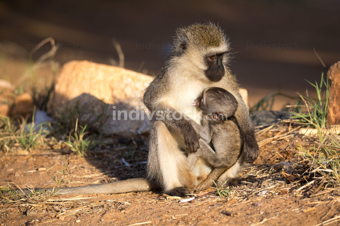 A monkey with a baby monkey in the arm