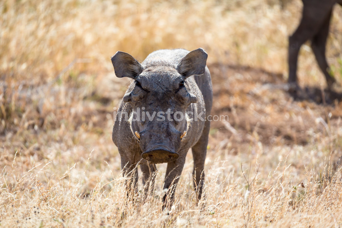 A portrait of a warthog in the middle of a grass landscape