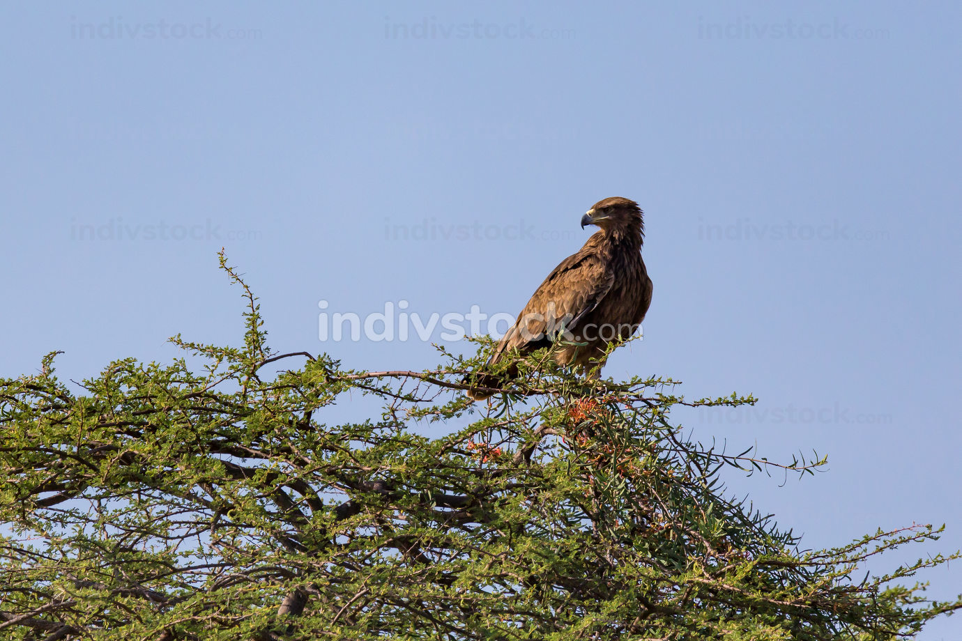 An eagle in the crown of a tree