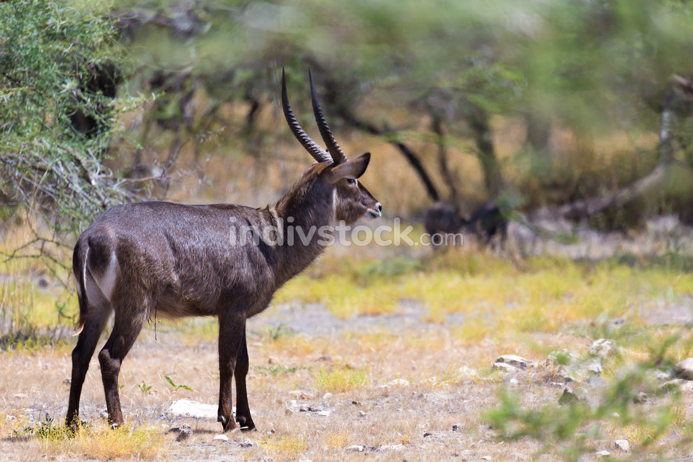 Antelope in the middle of the savannah of Kenya