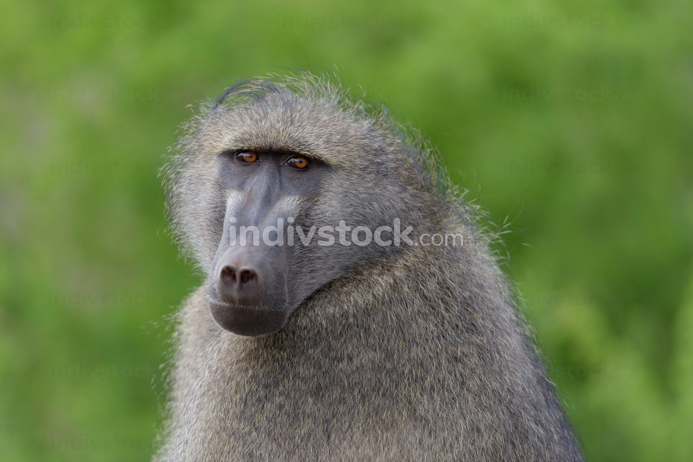 Baboon close up portrait