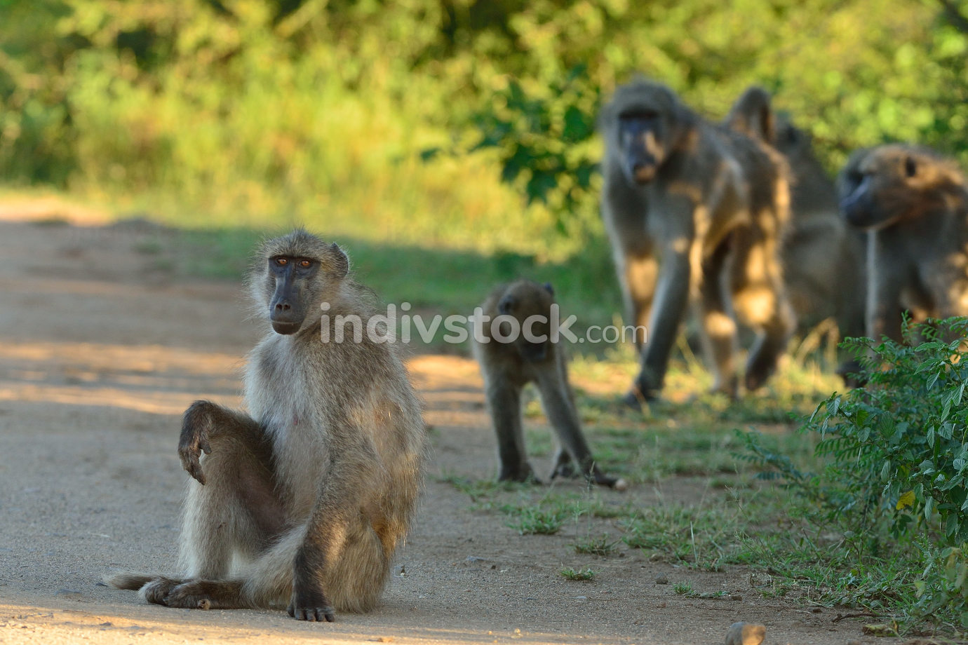 Baboon in the wilderness