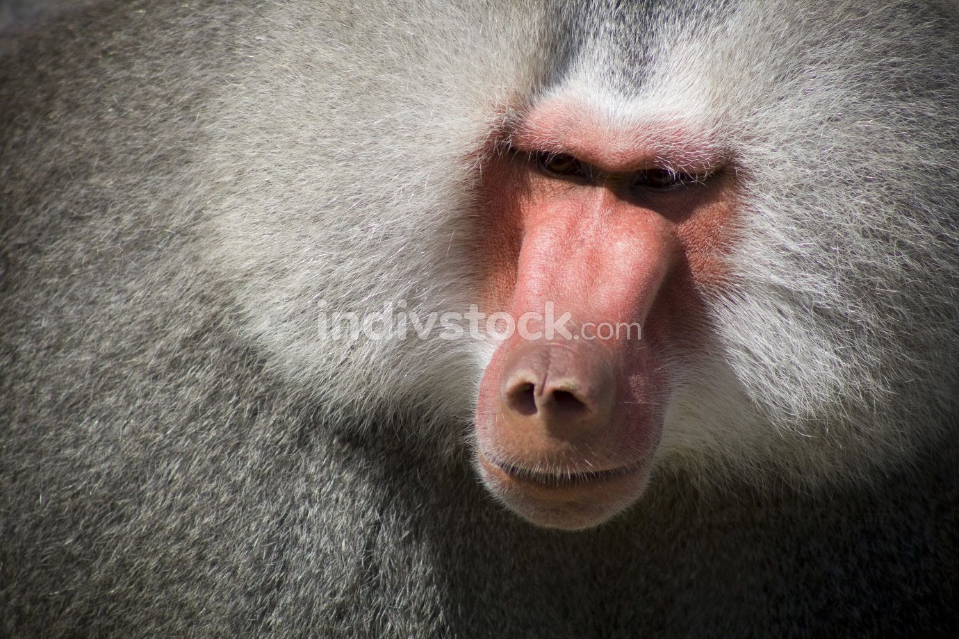 Baboon with dangerous looking (shooting at zoo)