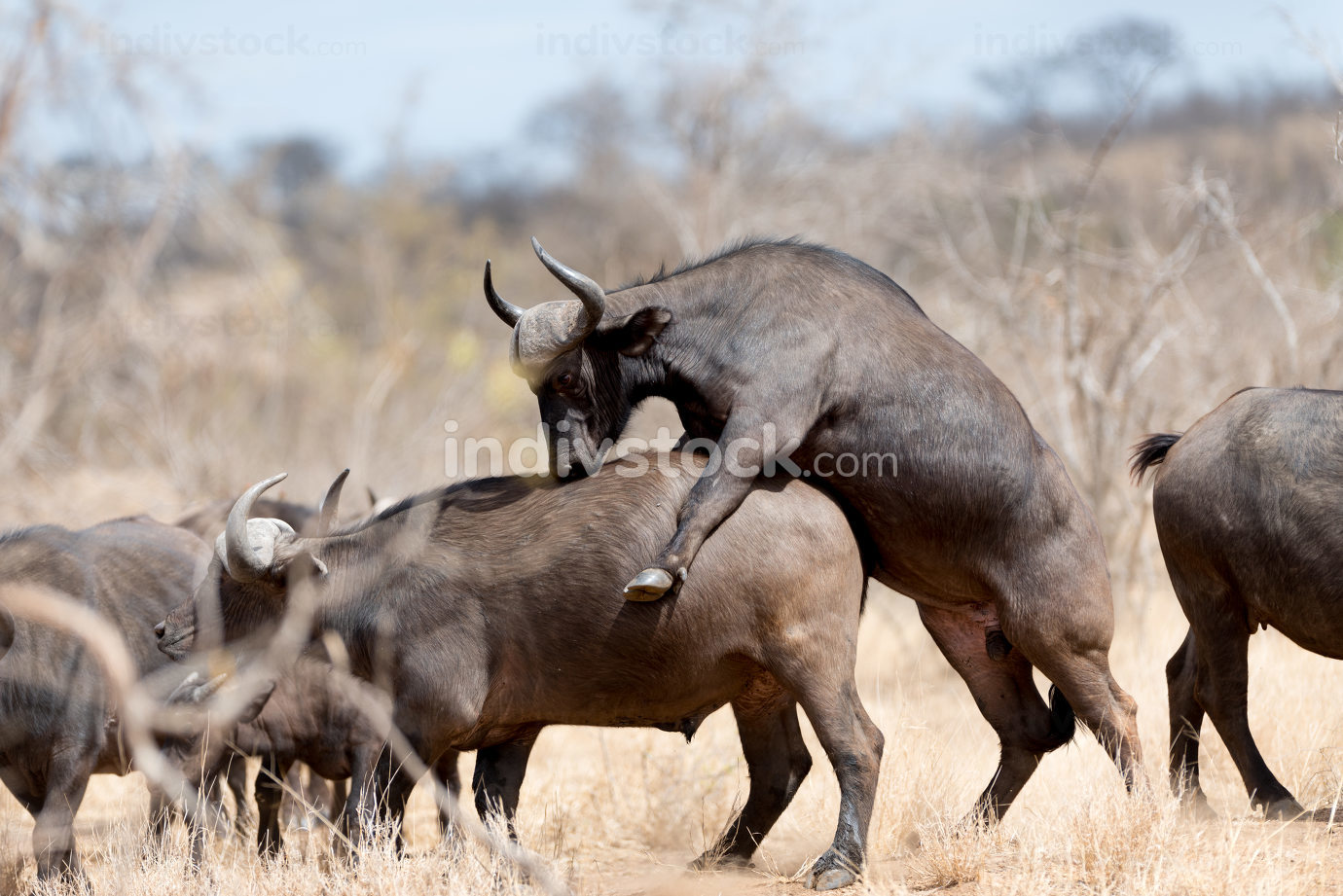 Cape buffalo mating portrait