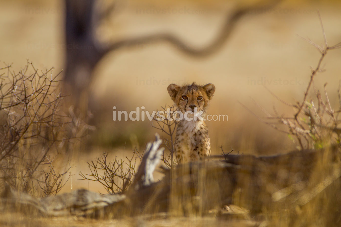 Cheetah cubs in the wilderness