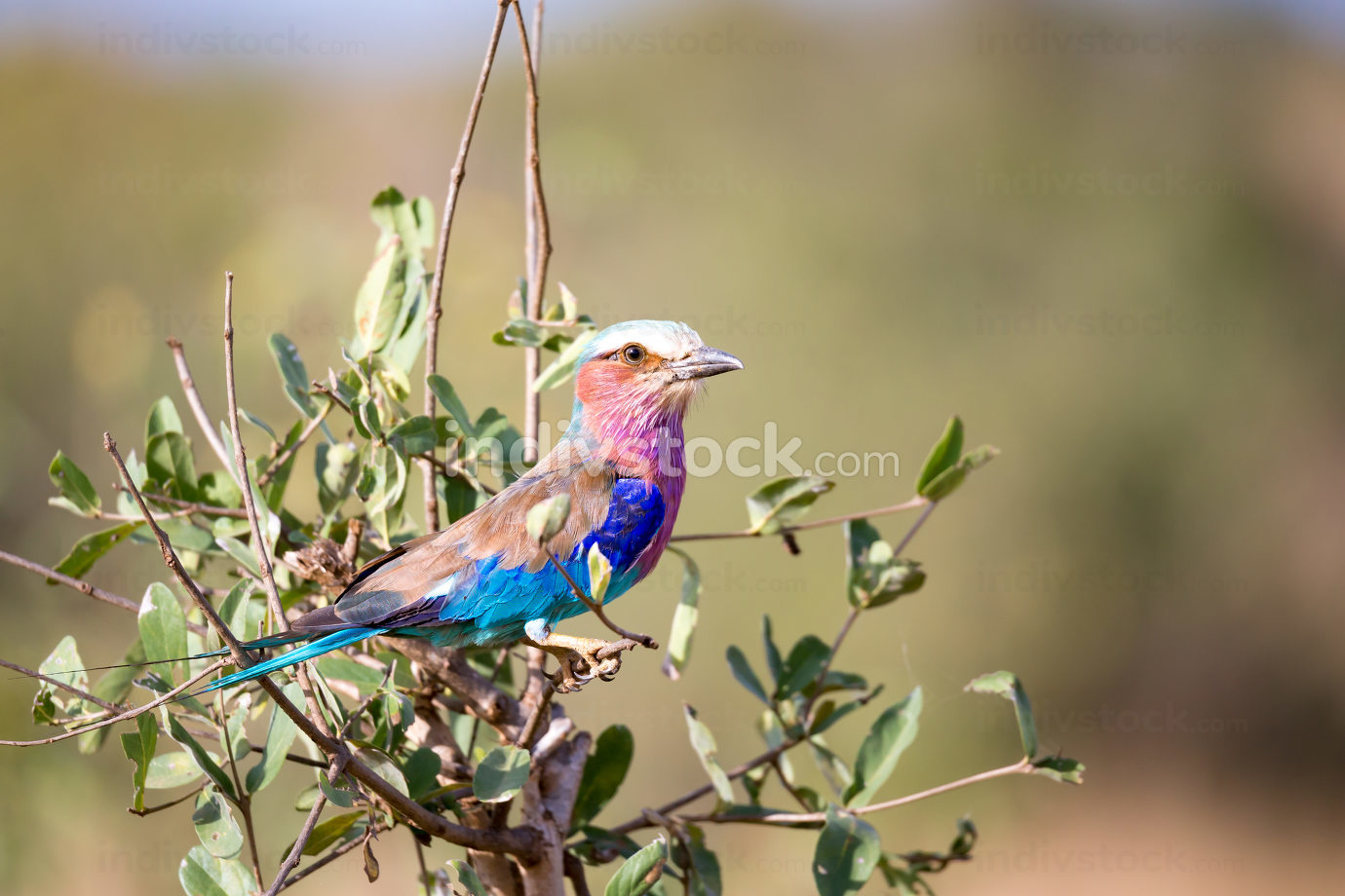 Colorfull bird is sittin on the tree in the savannah in Kenya