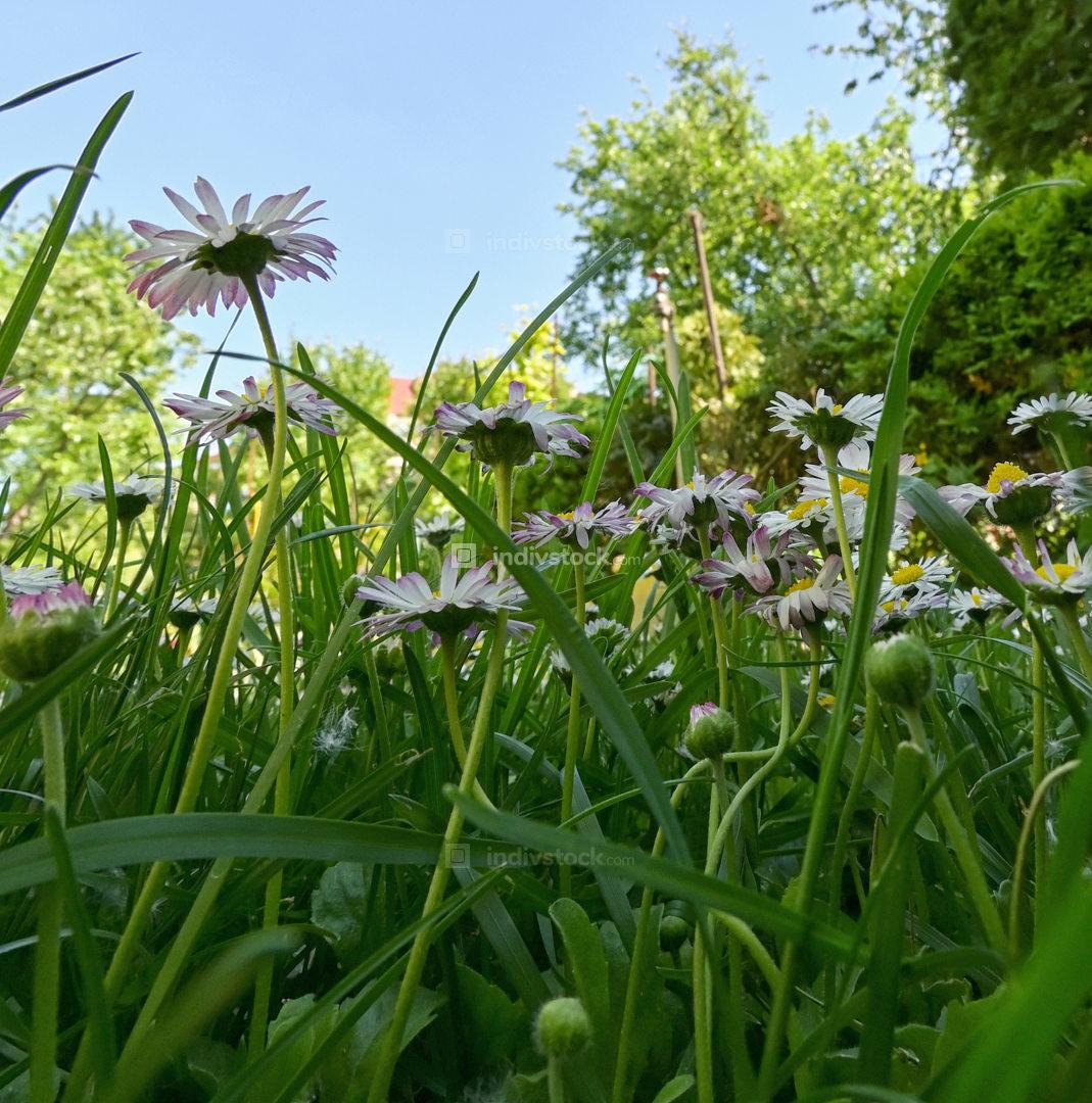 Common Daisy Flowers in Garrden