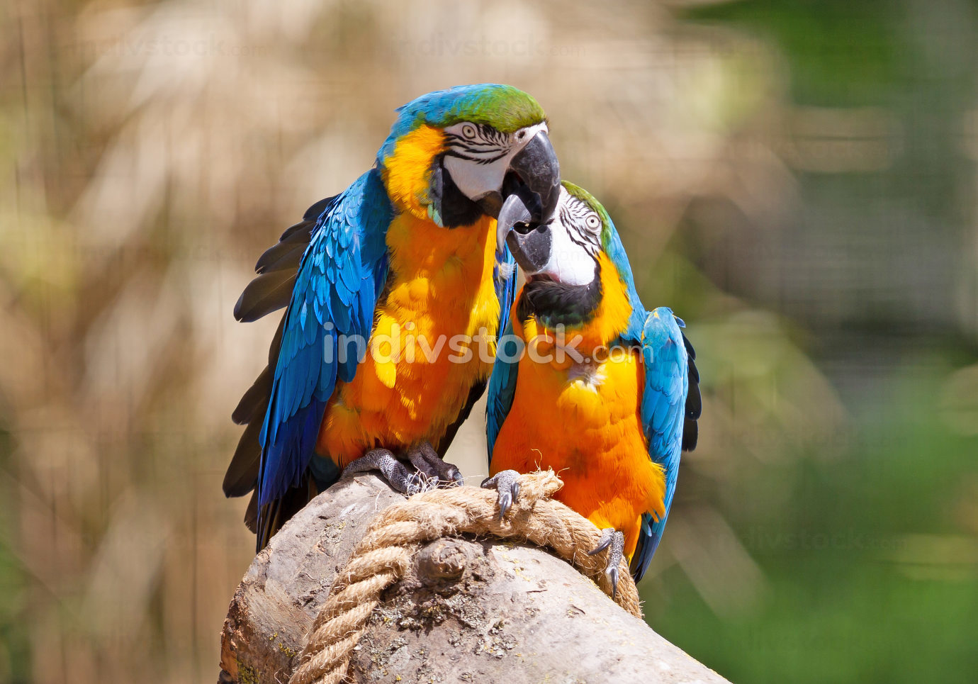 Couple of parrots kissing