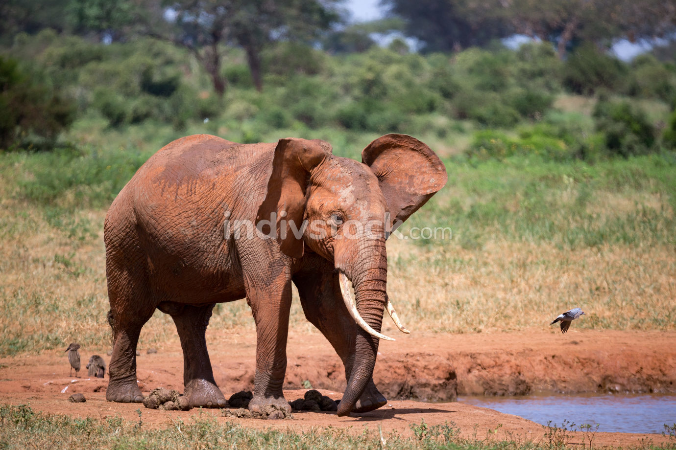 Elephants in the savannah near a water hole