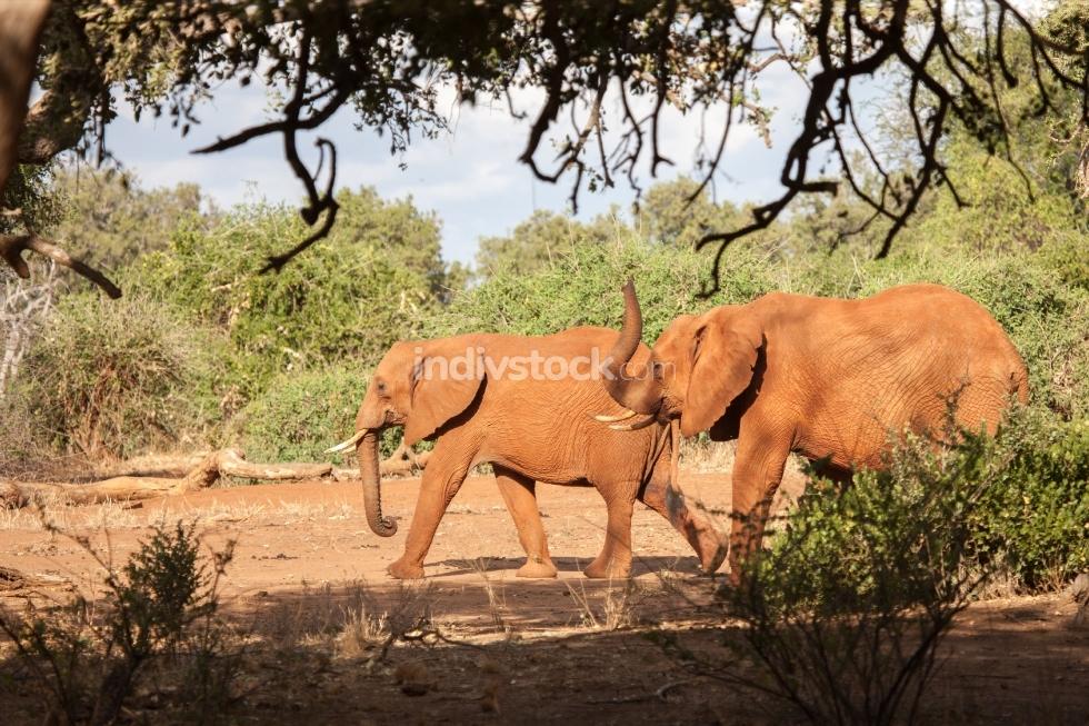 Elephants walking, scenery of Kenya