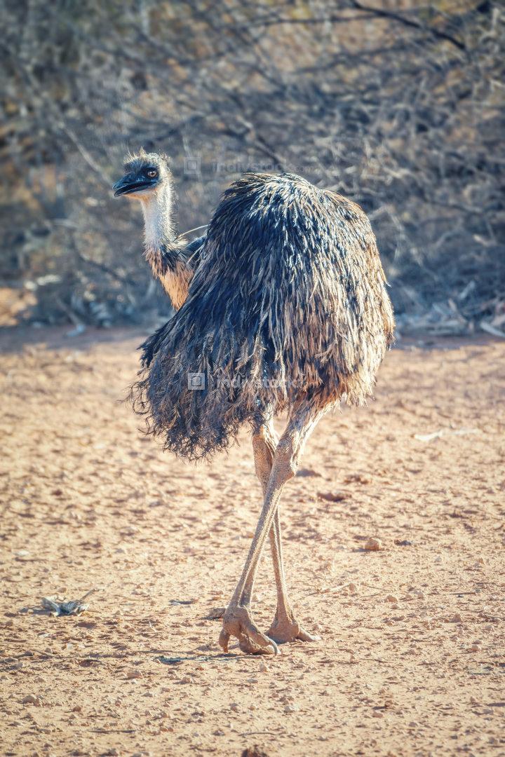 Emu bird in the Australia outback