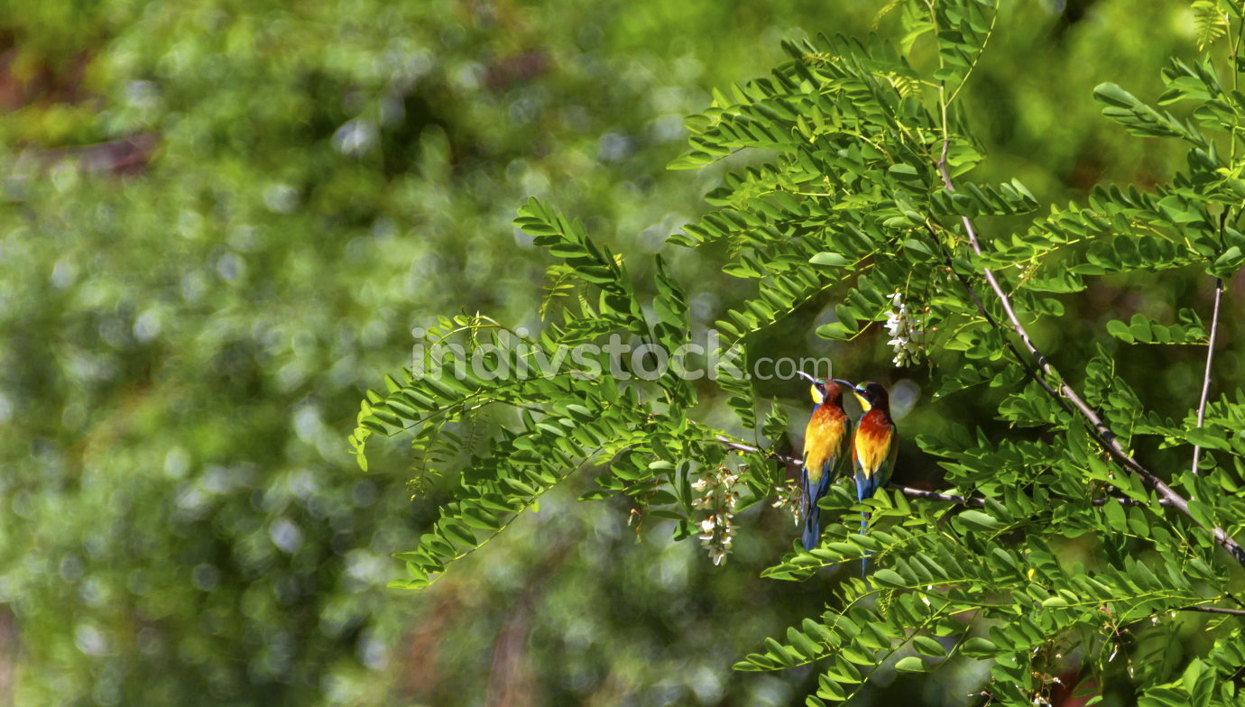 European bee-eater, merops apiaster, birds duo