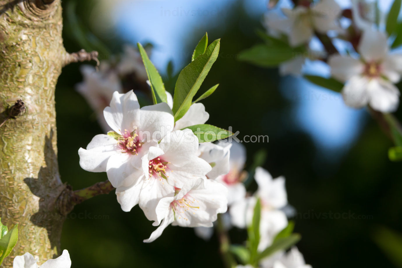 Flowers of a cherry tree in spring