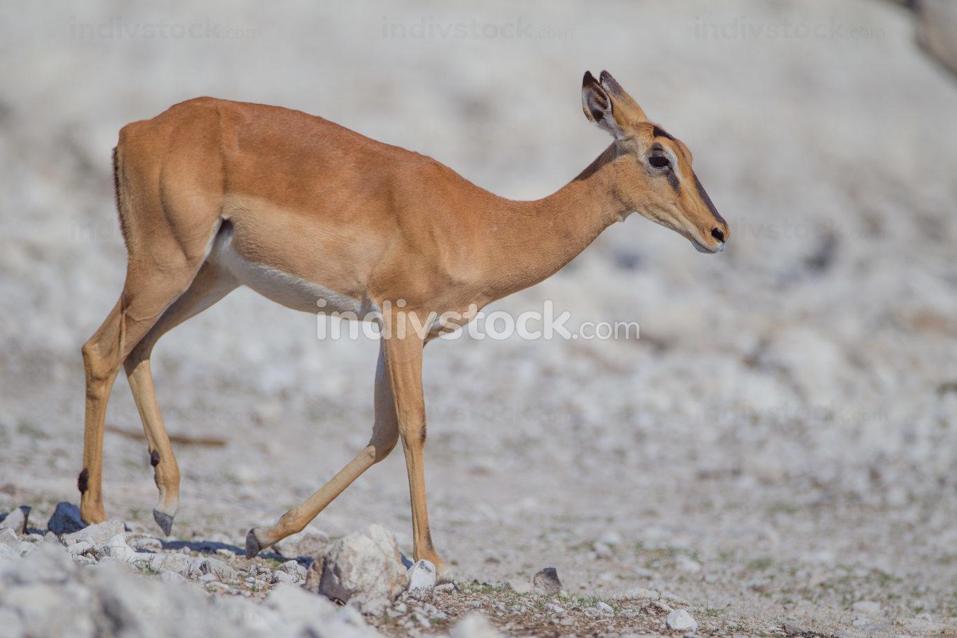 Gazelle in the wilderness