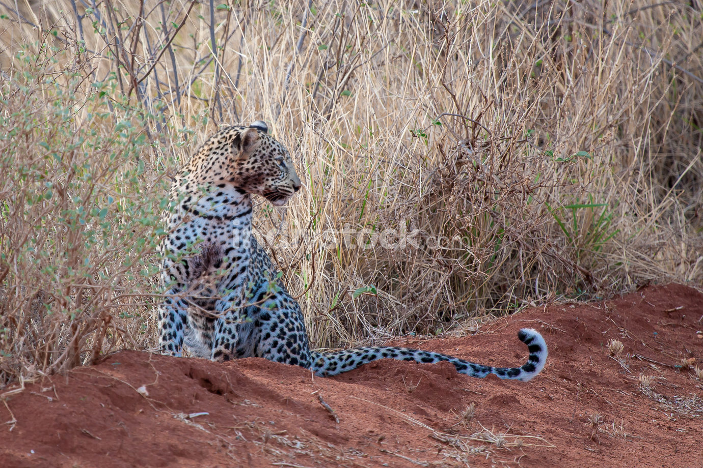 Leopard is sitting, with a dirty mouth, after hunting