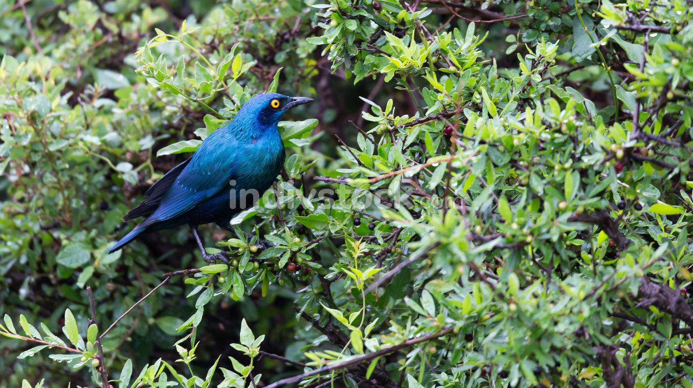 Local Kenyan birds in colorful colors sit on the branches of a t