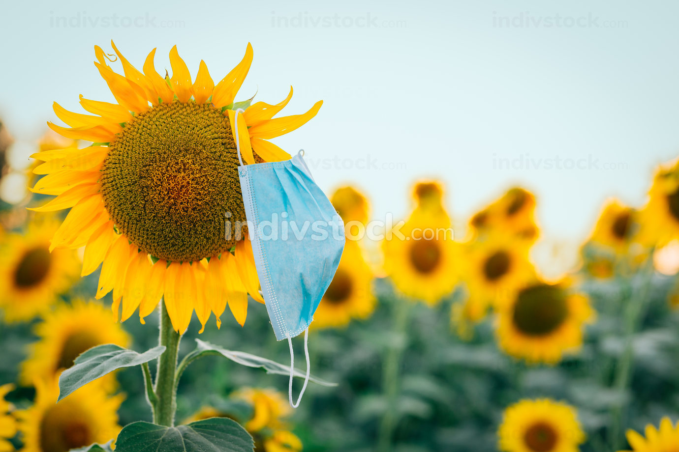 medical mask on a sunflower in the field.