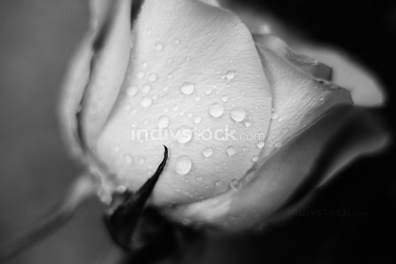 morning dew on a beautiful rose bud