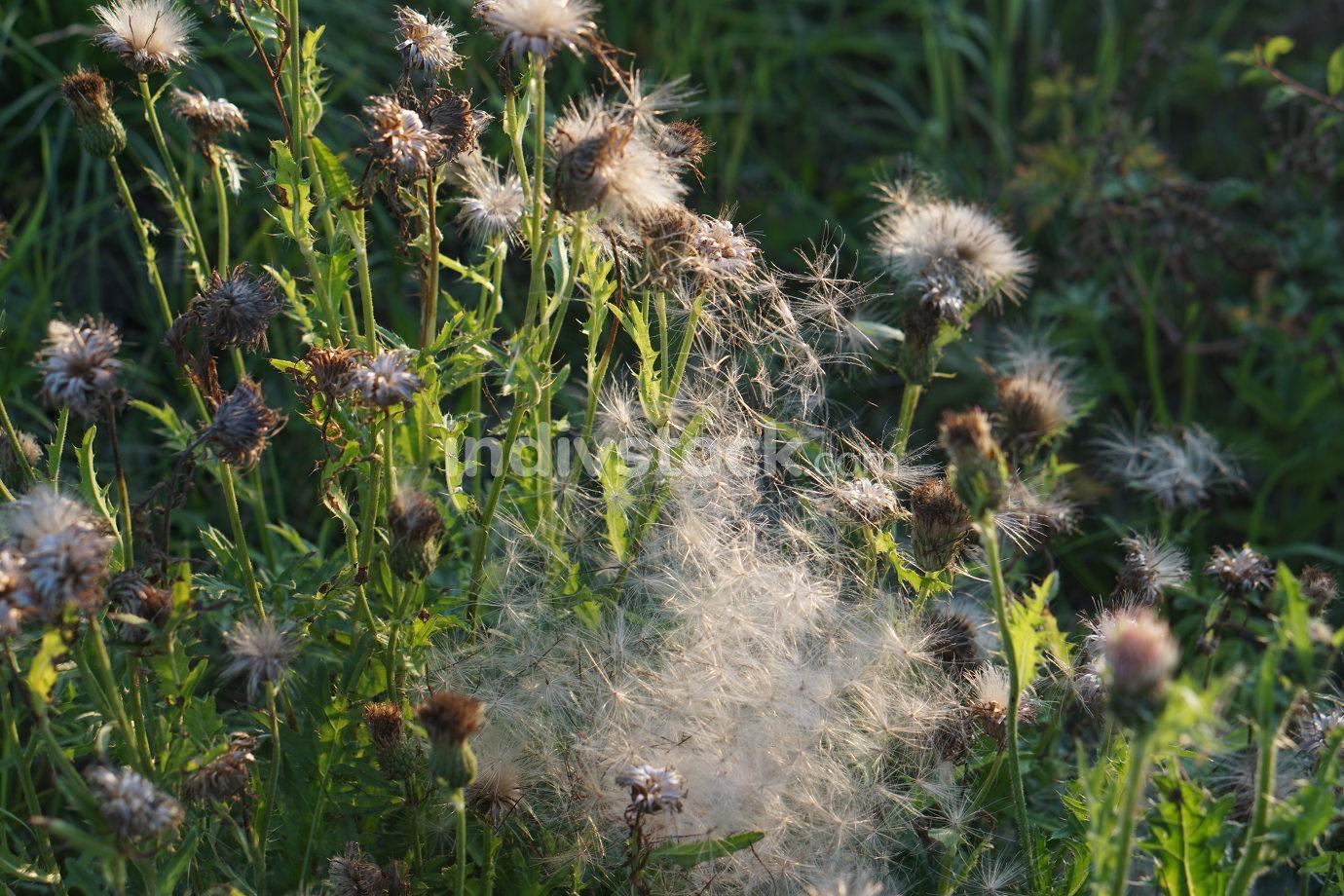 natural dandelion in green spring garden background