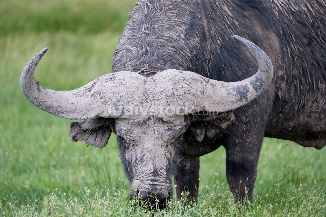 One big buffalo in the grassland of the savannah
