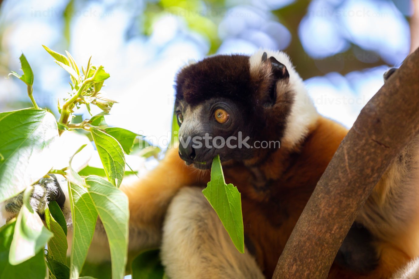 one Sifaka lemur that has made itself comfortable in the treetop