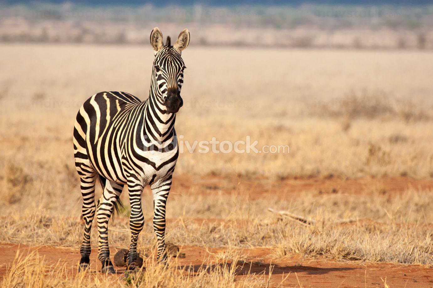 One zebra is standing in the savannah, on safari in Kenya, Tsavo
