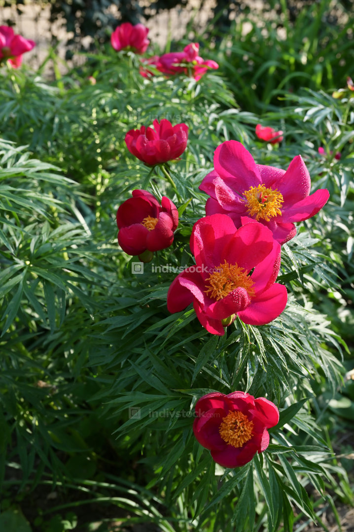Red Wild Peony Flowers In A Garden
