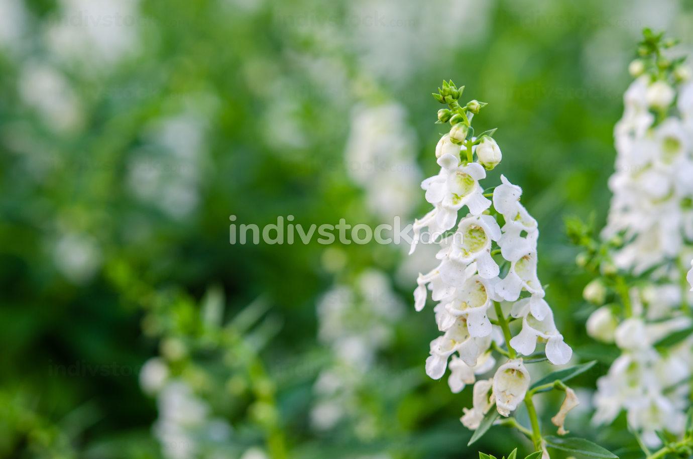 salvia white flowers