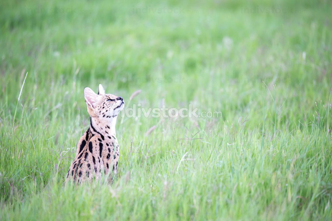 Serval cat in the grassland of the savannah in Kenya