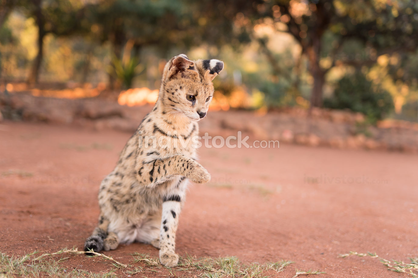 Serval cat in the wilderness