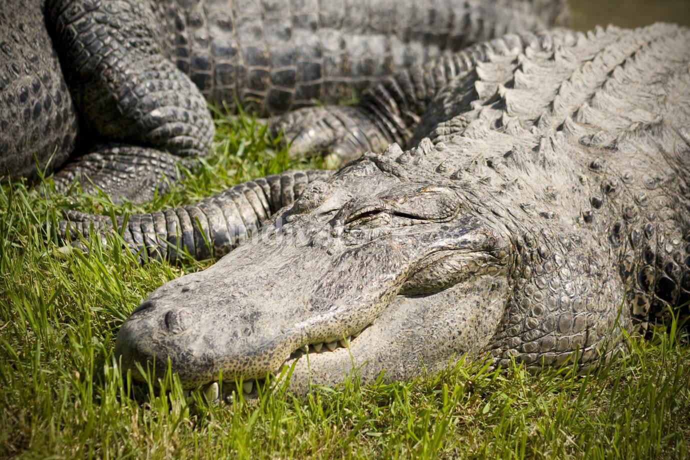 Sleeping Alligator (shooting at zoo)