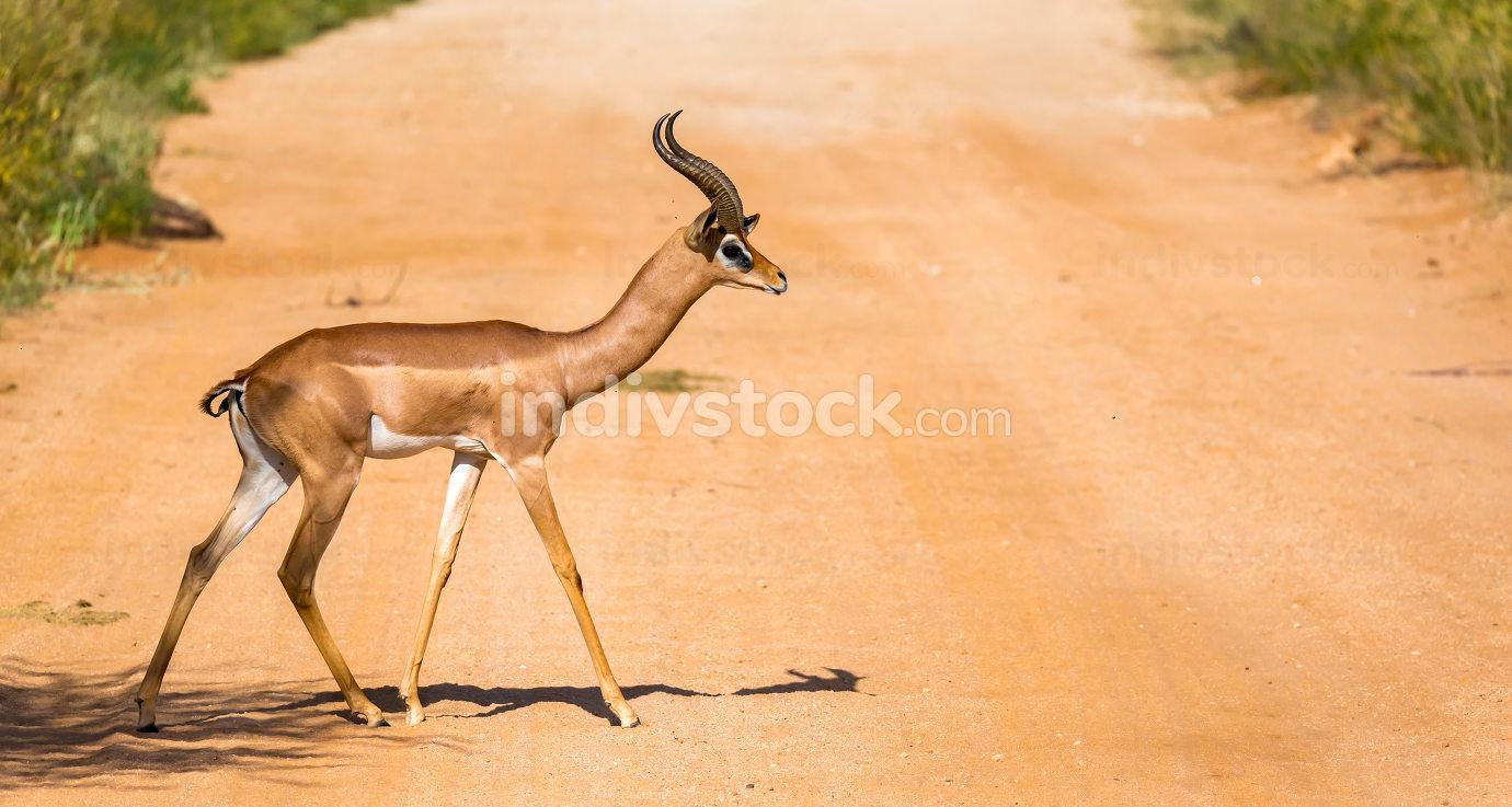 The Gazelle Gerenuk in the savannah of Kenya