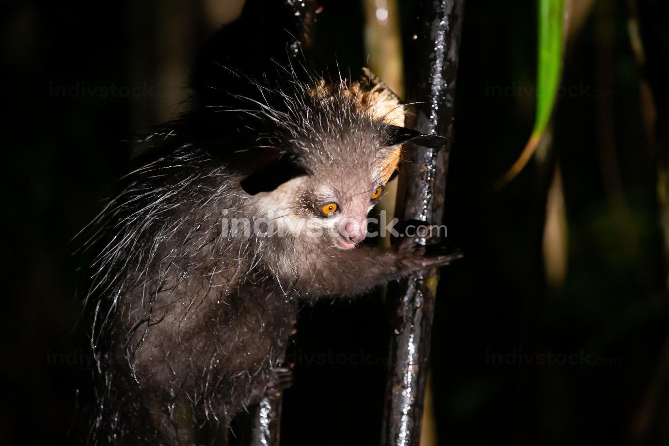 The rare aye-aye lemur when it rains