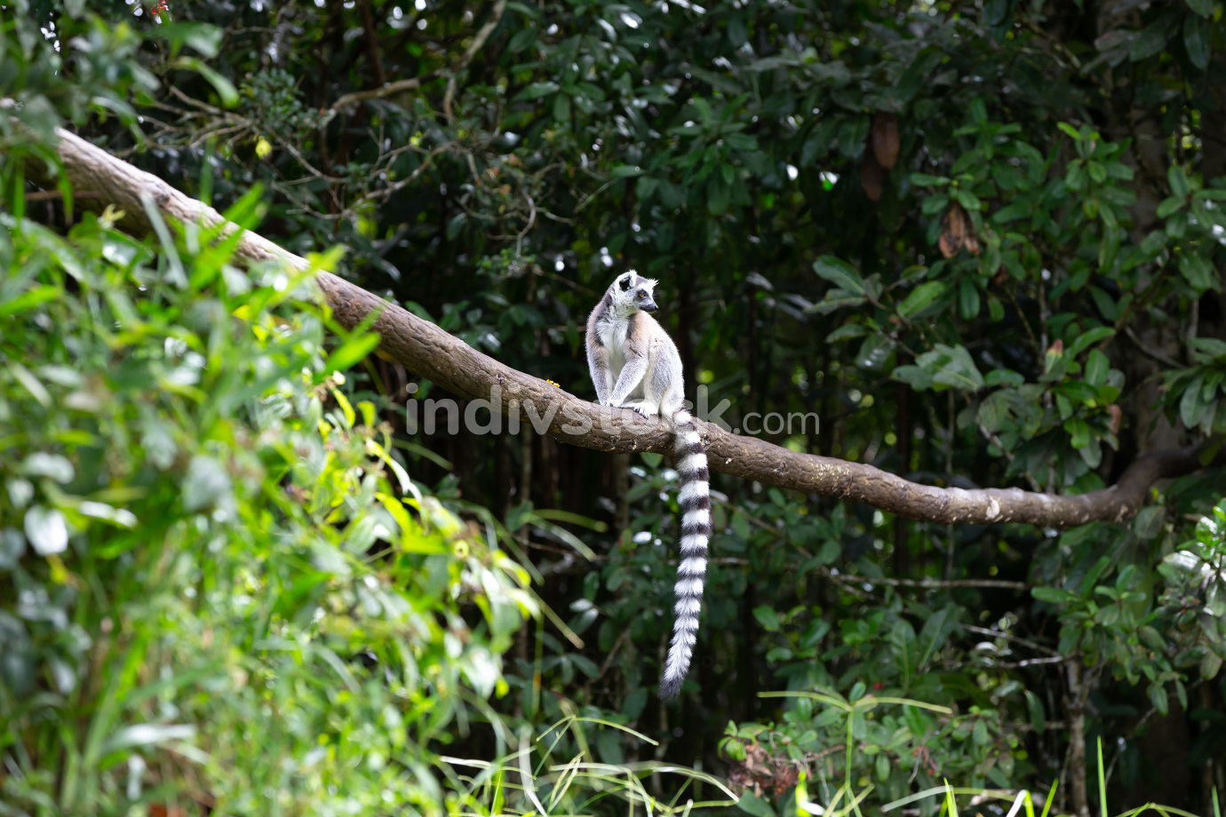 The ring-tailed lemur in the rainforest on the island of Madagascar
