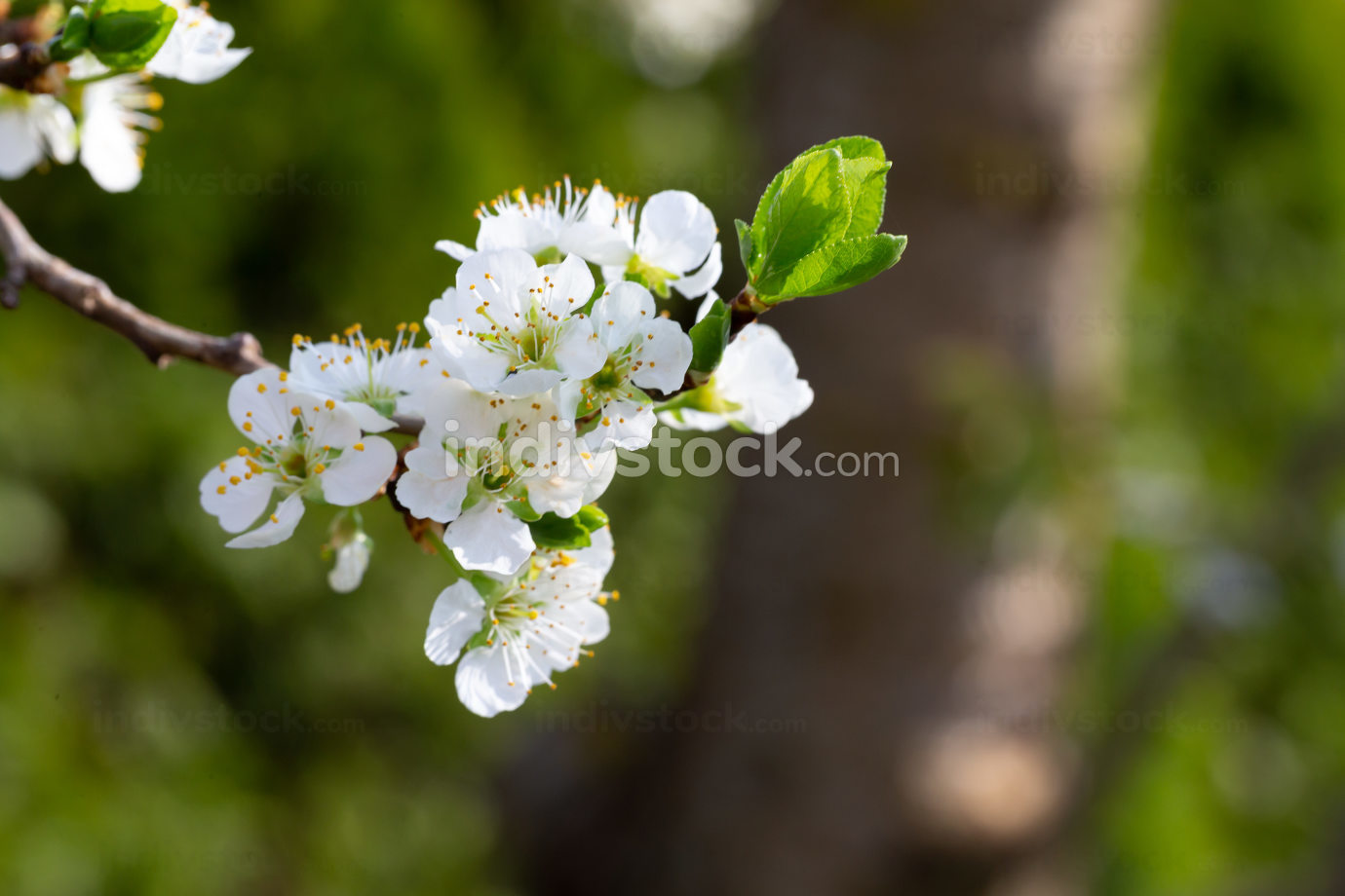 White cherry blossoms with the first green leaves