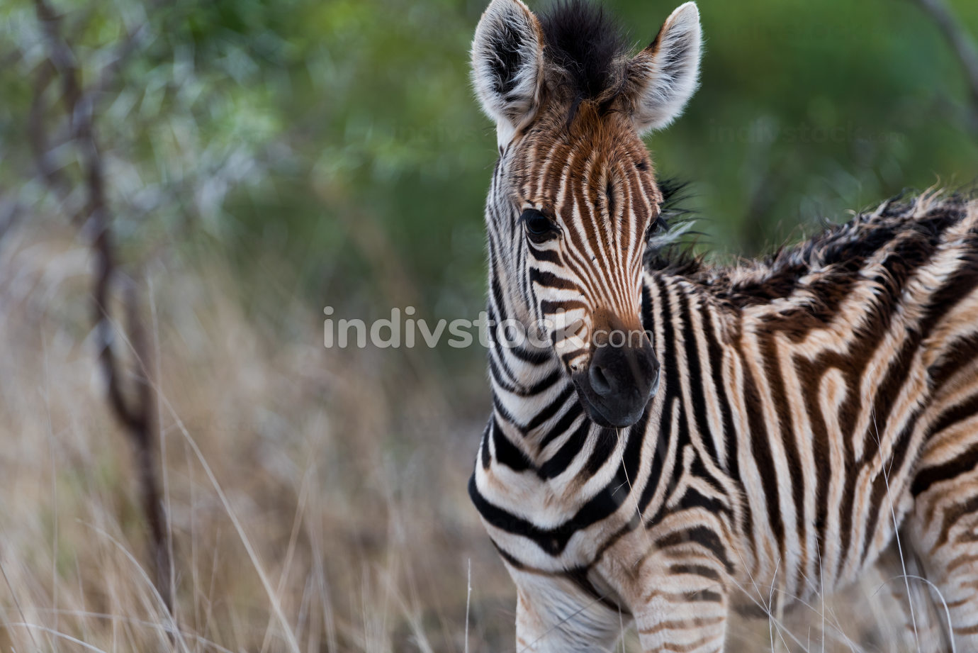 Zebra foal in the wilderness