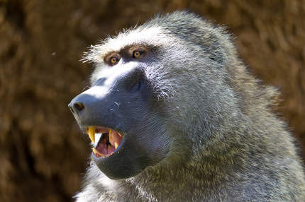 A baboon has found a fruit and eats it