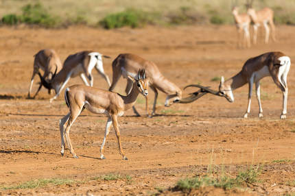 A battle of two Grant Gazelles in the savannah of Kenya