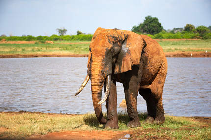 A big red elephant after bathing near a water hole