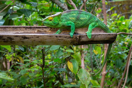 A chameleon in close-up in a national park on Madagascar