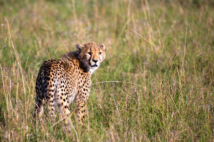 A cheetah walks between grass and bushes in the savannah of Keny