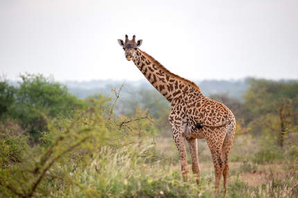 A giraffe is standing between the bush and trees