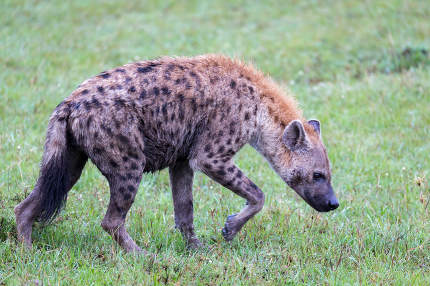 A hyena walks in the savanna in search of food