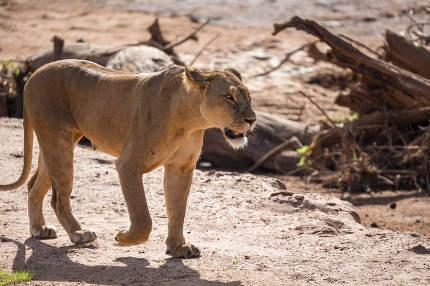 A lion walks through the savannah in Kenya