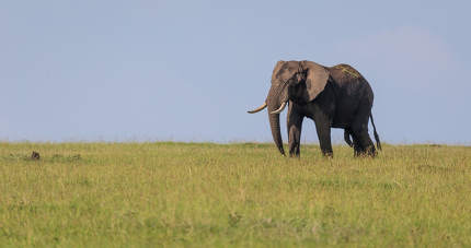 A lonely elephant walks through the savannah